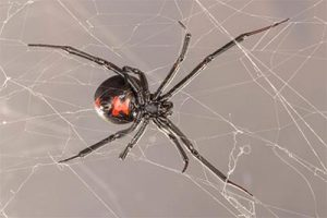Western black widow spider crawling on a web showcasing the famous red hour glass on the back