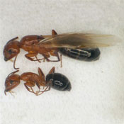 Two Carpenter Ants on their side, showing a large Carpenter Ant next to a smaller or average size Carpenter Ant