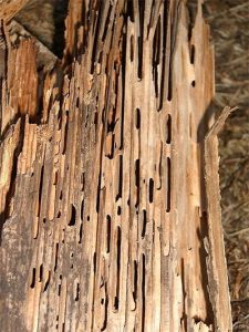 A large amount of damage done to wood due to Carpenter Ants