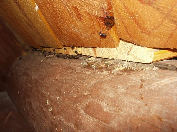 Carpenter ants nesting in the wood of someone's home