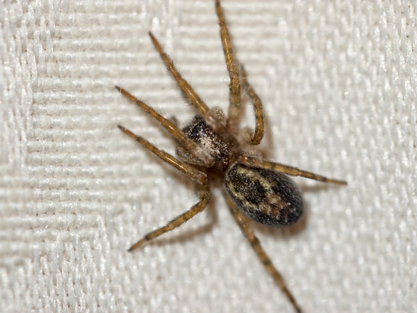 Common House Spider from bird's eye view