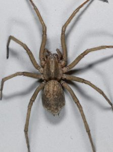 A bird's eye view of the hobo spider. A lanky brown spider that is large in size.