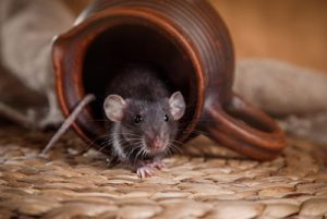 How to Get Rid of a Rat Infestation in Seattle, WA
