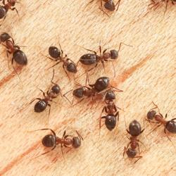 Colony of ants in a kitchen.