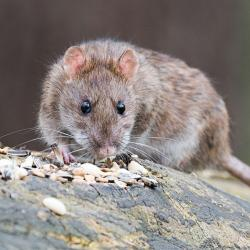 rat on a rock with pebbles