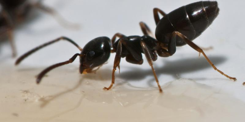 An odorous house ant or sugar ant. Photo courtesy of, and copyrighted by, Gene White, pmimages@earthlink.net