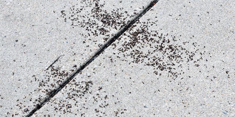 A colony of pavement ants on a sidewalk. PHOTO: JOHN OBERMEYER, PURDUE UNIVERSITY