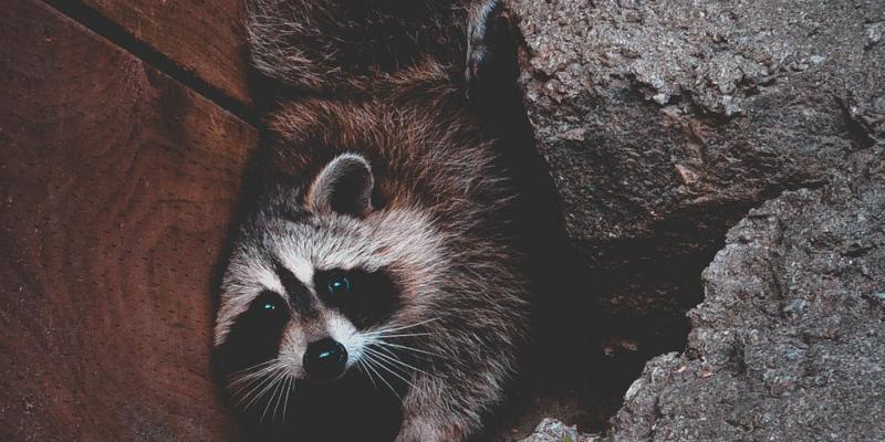Effective Raccoon Removal | Removing Raccoons Safely