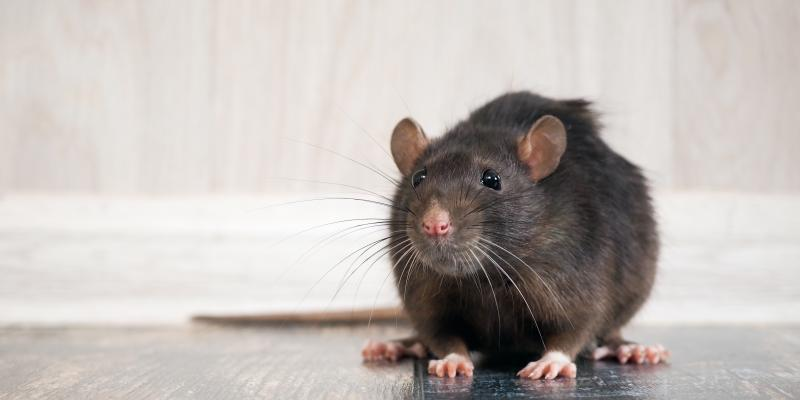 Gray mouse sitting on the floor of a home.