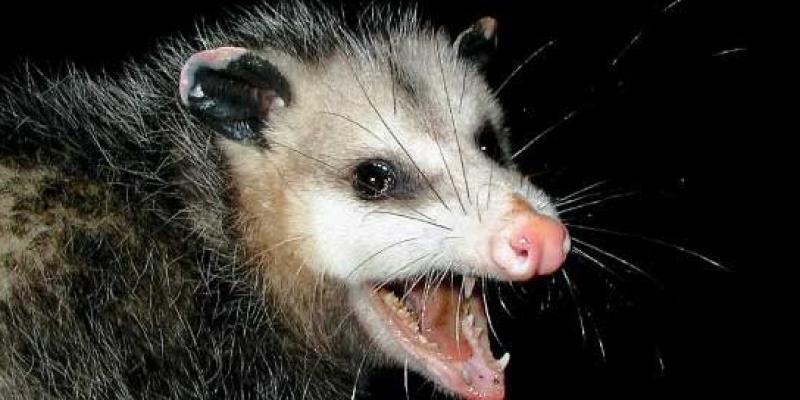 Opossum hissing at camera
