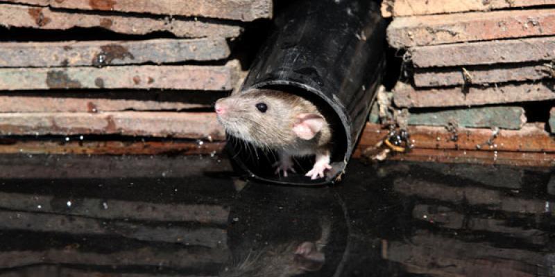 rat in the dark
