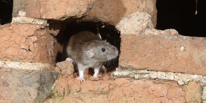 Rats and Mice Carry Diseases that Endanger Humans | Eastside