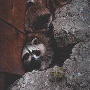 Raccoon stuck in between a wooden wall and rocks.