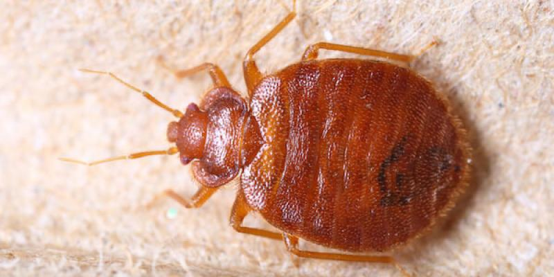 bed bug one a white background