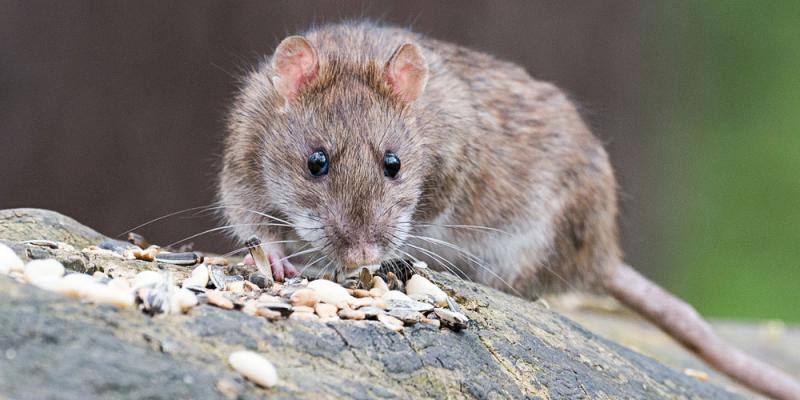 gray rat on a rock with pebbles