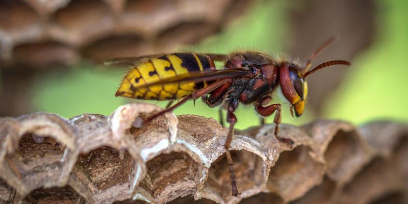 Wasp standing on the edge of it's hive.