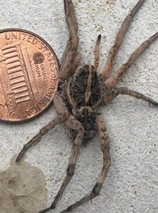 A wolf spider next to a penny. The wolf spider's body is around the same diameter of the penny and its legs make it larger than the penny.